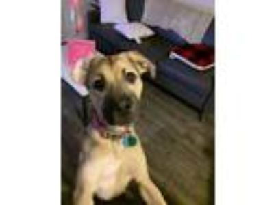 Adopt Honey a Black - with Tan, Yellow or Fawn German Shepherd Dog / Pointer dog