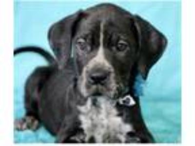 Adopt Wildfire a Labrador Retriever / Mixed dog in Pittsburgh, PA (25644322)