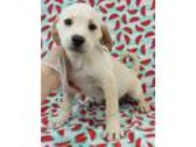 Adopt Lavender a Labrador Retriever, English Springer Spaniel