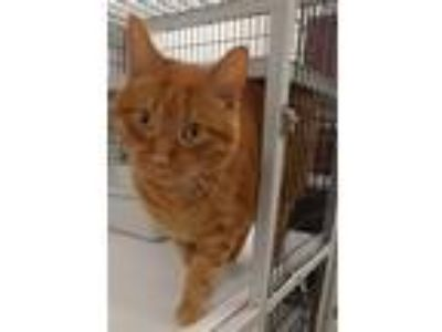Adopt Marvin a Orange or Red Domestic Shorthair (short coat) cat in Muscatine
