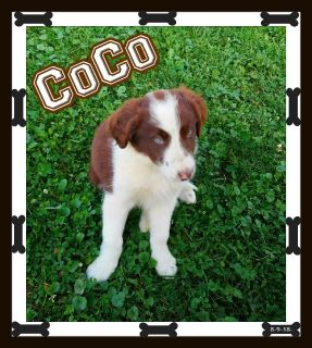 Border Collie Pups For Sale 330-826-1882 $299.00 New Price 9-21-18-