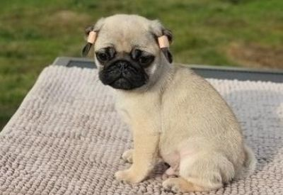 fgrthdr nice Pug puppies ready now