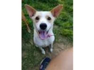 Adopt Strawberry Shortcake a Jack Russell Terrier / Mixed dog in Boston