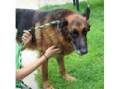 Adopt SANDER a German Shepherd Dog