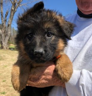 German Shepherd Dog PUPPY FOR SALE ADN-73309 - Puppies from Son of World Champion Sieger