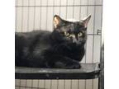 Adopt Fig a Domestic Short Hair