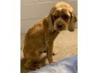 Adopt Precious Angel - Not at the Shelter a Cocker Spaniel