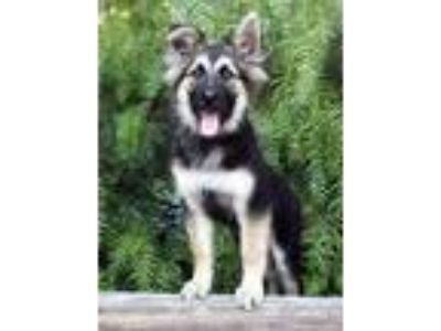 Adopt Venus Williams a German Shepherd Dog