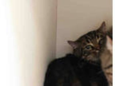 Adopt *CHARLESON* a Brown Tabby Domestic Shorthair / Mixed (short coat) cat in