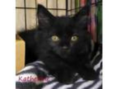 Adopt Katherine a All Black Domestic Shorthair / Domestic Shorthair / Mixed cat