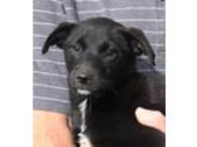 Adopt Ashley a Black - with White Labrador Retriever / Flat-Coated Retriever /