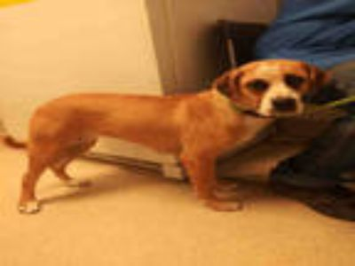 Adopt *SARAH a Brown/Chocolate - with White Beagle / Mixed dog in Bakersfield