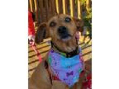 Adopt Bailey *LOCAL* MEET ME! a Terrier, Catahoula Leopard Dog