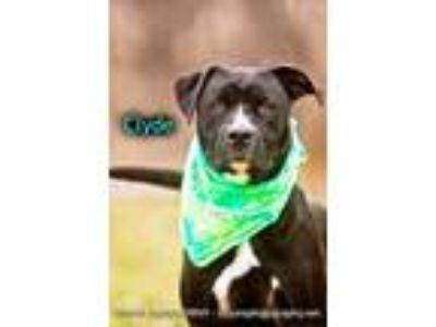 Adopt Clyde a Black Boxer / American Pit Bull Terrier / Mixed dog in Cedar