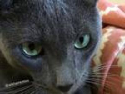 Adopt Shadow a Gray or Blue Russian Blue / Mixed (short coat) cat in Satellite