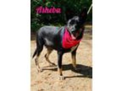 Adopt Asheba a German Shepherd Dog, Terrier