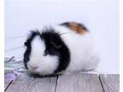 Adopt Bill a Guinea Pig small animal in Sterling Heights, MI (25895552)
