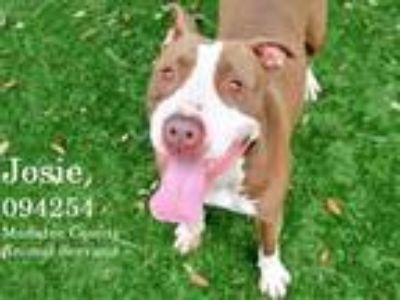 Adopt JOSIE a Brown/Chocolate - with White American Pit Bull Terrier / Mixed dog