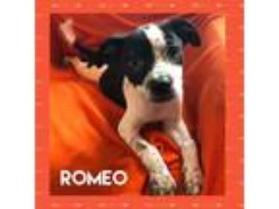 Adopt Romeo a Boston Terrier, Australian Cattle Dog / Blue Heeler