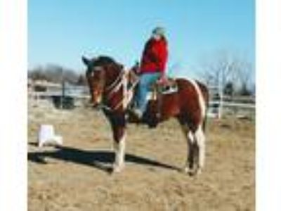 Big dreamy light draft cross gelding He does it all western or English
