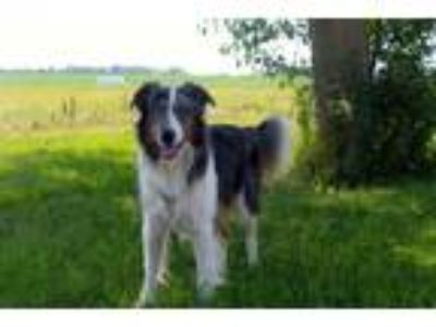 Adopt Jaxx a Australian Shepherd, Border Collie