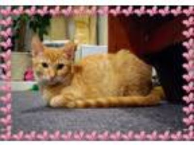 Adopt Rhea a Domestic Short Hair