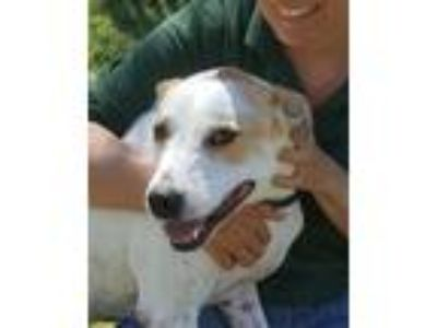 Adopt BOJANGLES a White - with Red, Golden, Orange or Chestnut Catahoula Leopard