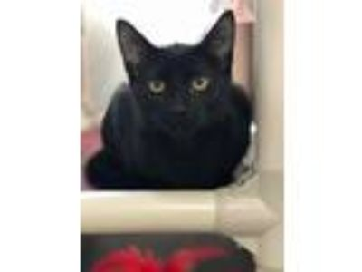 Adopt Black Panther a Domestic Short Hair