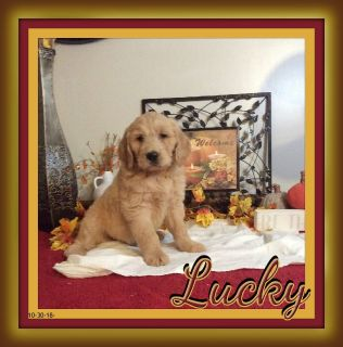 Lucky Male Goldendoodle 330-826-1882$475.00 Call or text New Photos 11-13