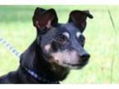 Adopt Trudy (Lower Fee) a Miniature Pinscher