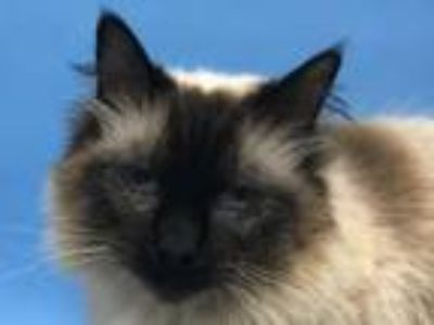 Adopt Syrus a Siamese, Domestic Short Hair