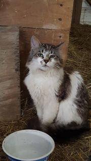 1 Yr. Old Tabby Spotted Male Cat