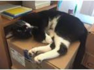 Adopt Argo a Black & White or Tuxedo American Shorthair cat in Riverside
