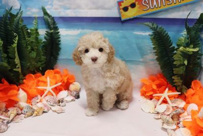 Toy Poodle - Ashley - Female