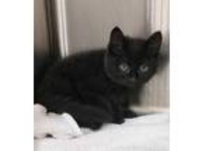 Adopt Arkora a All Black Domestic Mediumhair / Domestic Shorthair / Mixed cat in