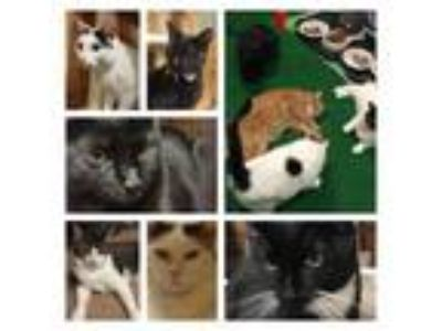 Adopt Foster Homes Needed! Please Volunteer a Domestic Short Hair