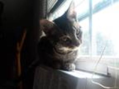 Adopt Mika a Tiger Striped American Shorthair / Mixed cat in Claymont