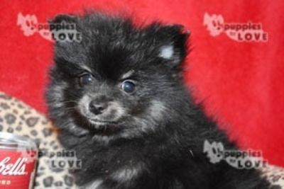 Pomeranian PUPPY FOR SALE ADN-92802 - AKC  FULL REGISTRATION