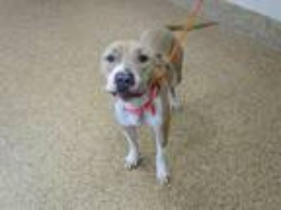 Adopt KANELA a Tan/Yellow/Fawn Pit Bull Terrier / Labrador Retriever / Mixed dog