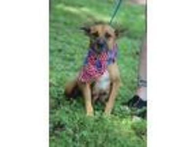 Adopt Colleen a Shepherd, Labrador Retriever