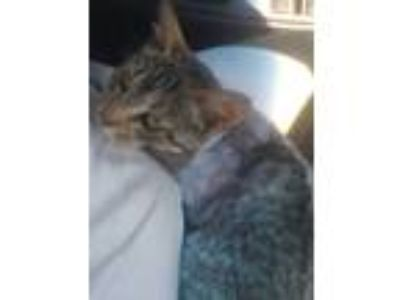 Adopt Kate a Brown Tabby Domestic Shorthair (short coat) cat in Clarkson