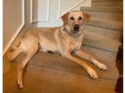 Adopt Shasta a Canaan Dog / Mixed dog in St Helens, OR (25609480)
