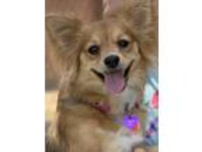Adopt BONNIE a Tan/Yellow/Fawn - with White Pomeranian / Mixed dog in Palm
