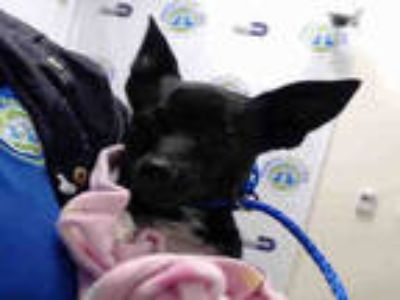Adopt BUDDY a Black - with White Rat Terrier / Mixed dog in Doral, FL (25593178)