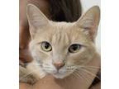 Adopt Athena a Orange or Red Domestic Shorthair / Mixed cat in Palatine