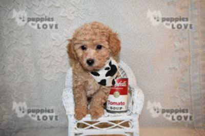 Shih Tzu-Poodle (Toy) Mix PUPPY FOR SALE ADN-77347 - TOY SHIHPOO
