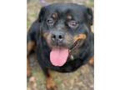 Adopt Petunia a Black Rottweiler / Mixed dog in Chester Springs, PA (24404146)