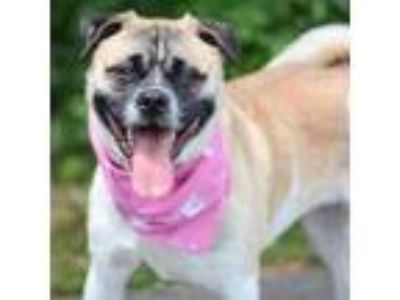 Adopt Mona AKA 'Muggsie' a Tan/Yellow/Fawn Pug / Beagle / Mixed dog in