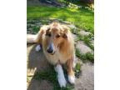 Adopt Abby a Tricolor (Tan/Brown & Black & White) Collie / Mixed dog in
