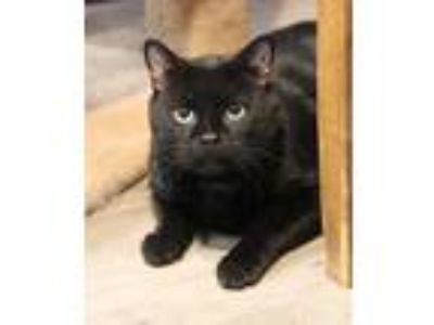 Adopt Samhain (indoor/outdoor) a All Black Domestic Shorthair / Mixed (short